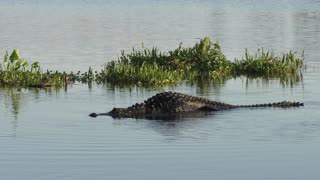 Huge American alligator in a lake