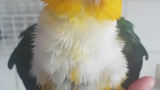 Wet parrot is sooo cute