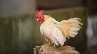 Rooster trying to imitate