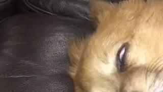 Sleeping dog rolled back eyes