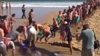 stranded shark being rescued