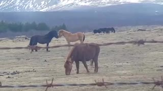 Icelandic Horses Won't Stop Kissing Each Other