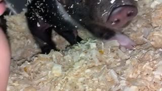 Waking Two Adorable Piglets