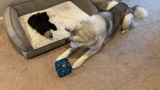 Vocal husky has a lot to say while solving puzzle toy