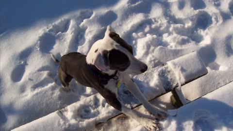 Canada's Most Beautiful Dog