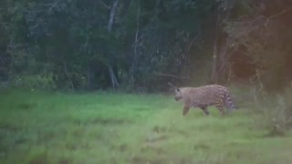 Jaguar attacks capybara