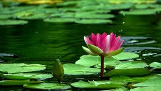 Beautiful lotus flower in a lake