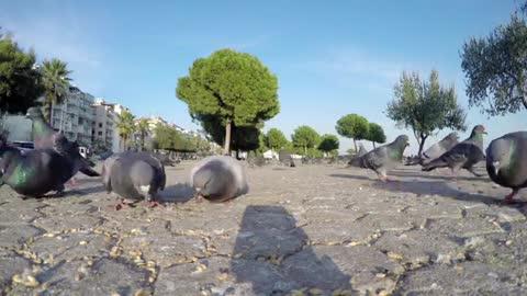Animal Bird Pigeons Feeding on the Ground