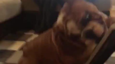 Bulldog puppy vs. Vacuum