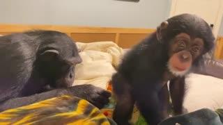 Monkeys Enjoy Christmas Gift