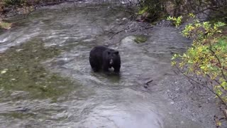 Bear fishing In The River