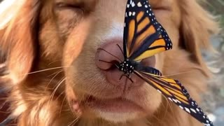 Observe how this dog plays with this butterfly