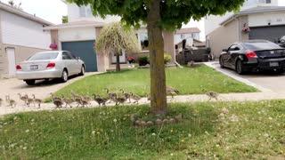 Duck family walk