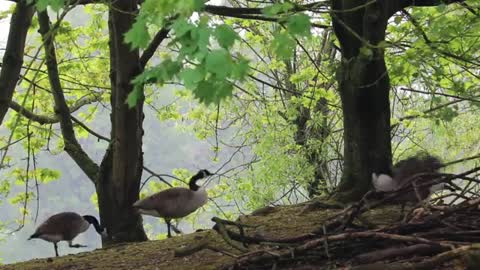 Watch beautiful geese wandering under the trees near the lake one