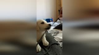 Labrador puppy is played with a rope.