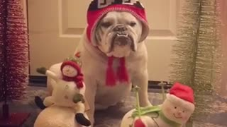 Grinch bulldog not impressed with singing Christmas toys