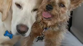 Adorable dog gives a kiss goodnight