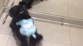 Mirror Makes Diapered Dog Mad