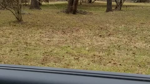 Deer in the yard with a Buck