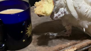 Cockatoo Knows the Best Way to Eat Biscotti