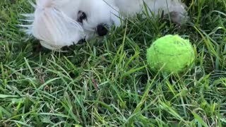 Dog shows frustration, trying to play ball