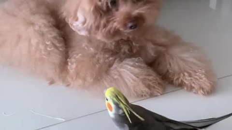 Wonderful singing of the cocktail bird at home, psychological comfort and calm