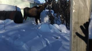 I really moose you!