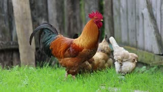 The lovely chickens of my family
