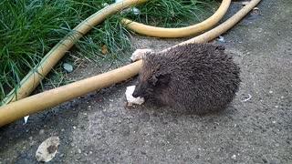 Uninvited Guest   Hedgehog Eating Food