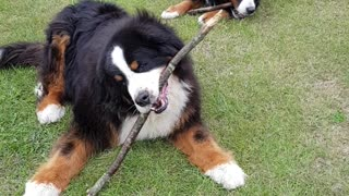 Two Bernese Mountain Dogs chewing sticks