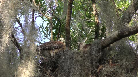 Red-Shouldered Hawk feeds its chicks