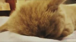 Lovely Kitten Falls Asleep