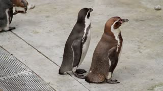 Two penguins squabbling in a zoo