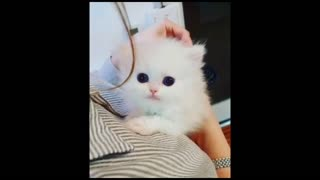 Small White Kitten Being Brushed