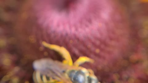 Amazing Closeup of a Bee!
