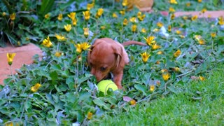 Cute Brown Puppy Playing