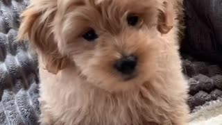 Barking Competition with Little Puppy