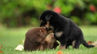 Puppies playingtt