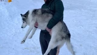 Human Helps Husky Do Number Two