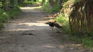 Limpkin birds playing in Florida wetlands