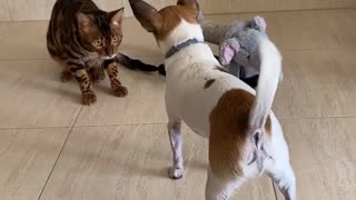 Cute Bengal cat plays with adorable doggy friend
