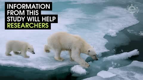 Check Out This Polar Bear Using A Treadmill