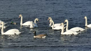 Swan Family Swimming In The Water - Young Swans