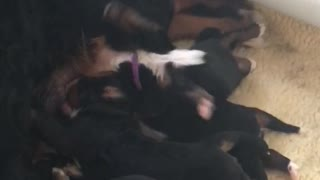 Upside down puppy backstrokes while nursing from mother