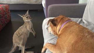 Kangaroo Joey Shows Dog Who's Boss