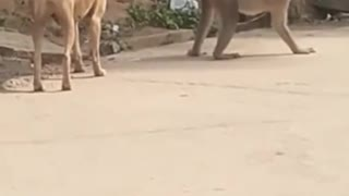 Funny Monkey playing with dog