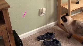 Cat Runs into Wall Chasing Laser