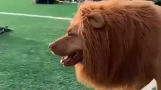 Funny dog with heavy hair like a lion
