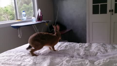 Adorable Pet Hare's Morning Exercise