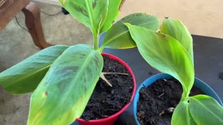 Banana Tree Propagation Tutorial Update